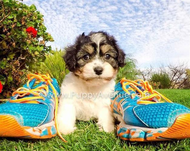 Cutest Female CavaChon Hybrid Puppy for Sale in San Diego