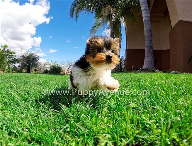 Cutest Male Parti Yorkshire Terrier Puppy Ready For a New Family!
