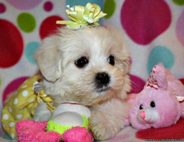 CUTEST maltipoo x AKC teacup poodle ( tiny toy poodle/ maltese puppies)