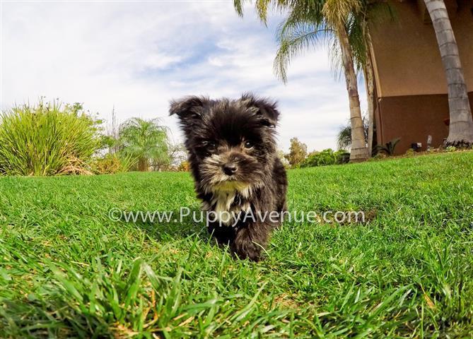 Cutest Personality // Gorgeous Yorkie x Maltese Mix // Morkie Puppy