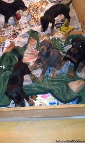 Doberman Puppies - Price: 500.00