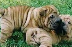 Female and Male Chinese Shar-Pei Puppies