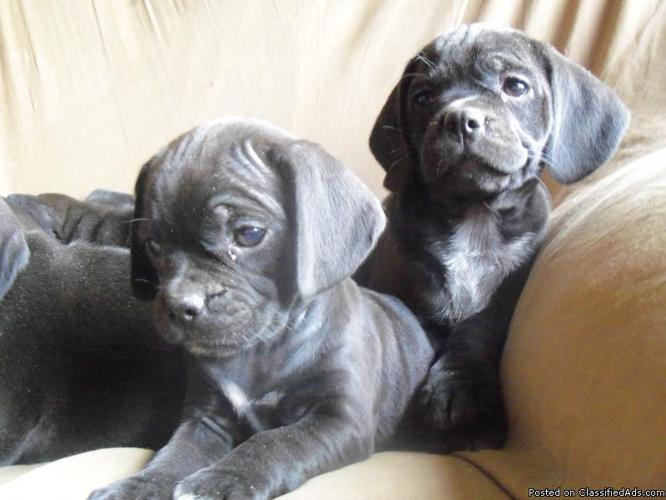 For sale : Puggle puppies