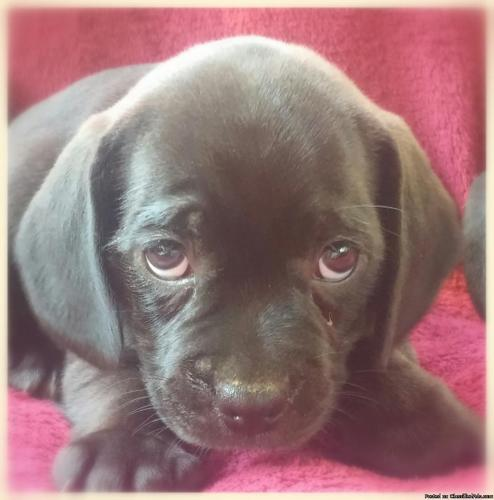 For sale: Puggle Puppies