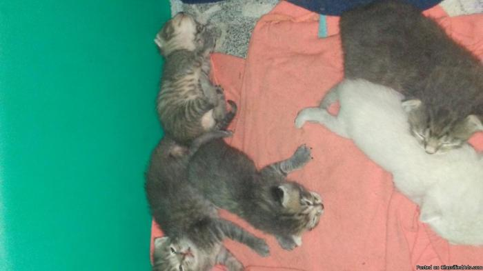 Free Kittens (5) and or Cats(1 female, 2 boys)
