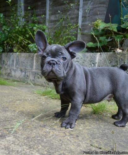 French Bulldog puppies 11 weeks old. Vaccinated first shot ready