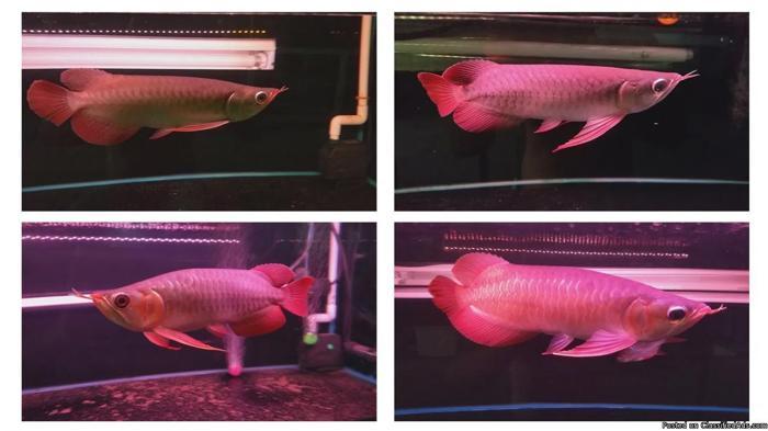 Fresh Water Arowana Fishes and Acrylic Tanks Ready!