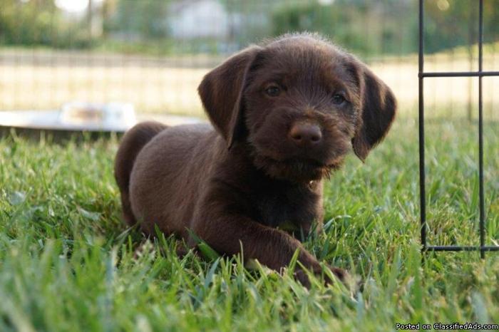 German Wire Haired Pointer Vizsla mix puppies for sale
