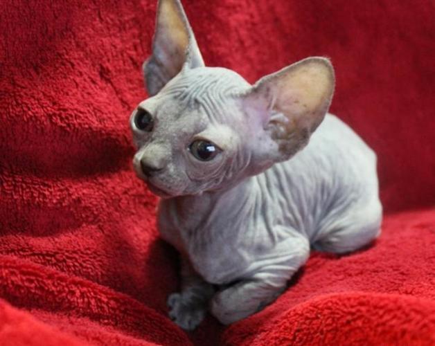 Gioery M/F *% Hairless Sphynx Kitties