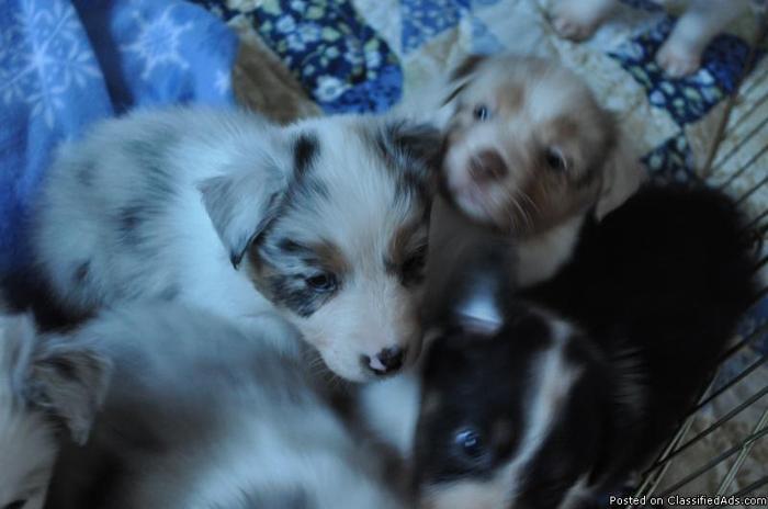 Gorgeous Australian Shepherd puppies!