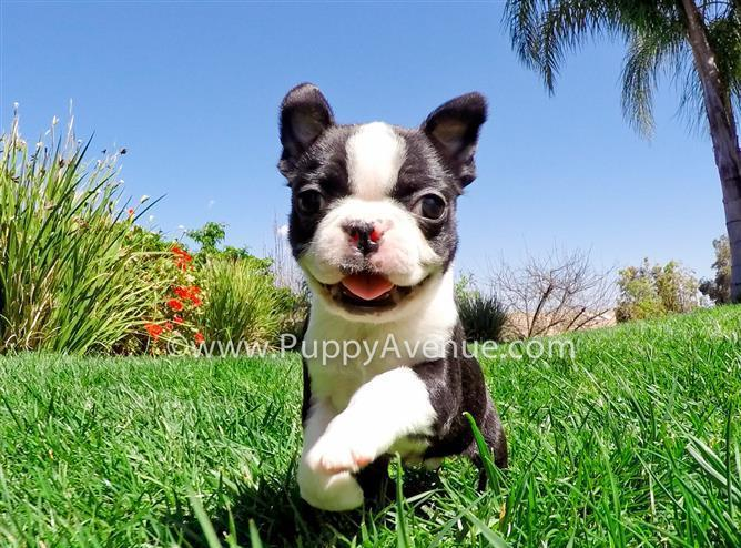 Gorgeous Female Boston Terrier Puppy for Sale