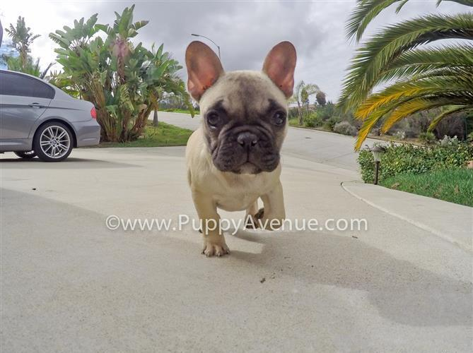 Gorgeous Female Frenchie Puppy // Hungarian Imported Lines