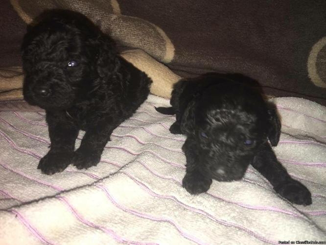 Gorgeous male and female Poodle puppies for sale