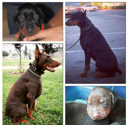 Half Euro BIG Doberman puppies females & males FREE EAR CROPPING!!!