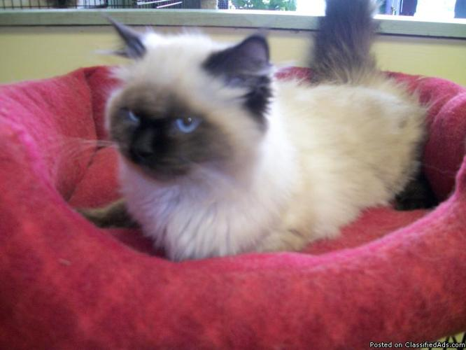 Himalayan Kittens For Sale Price 200 00 For Sale In