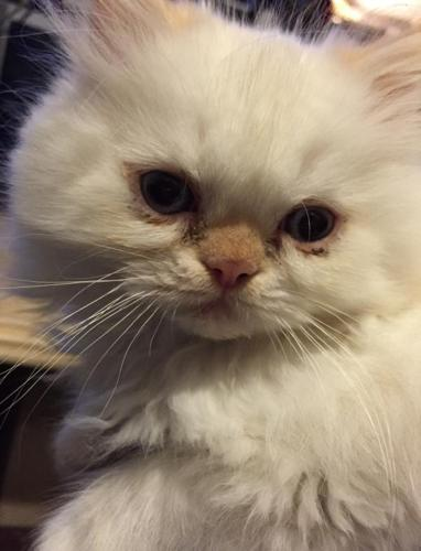 Himalayan Persian kitten
