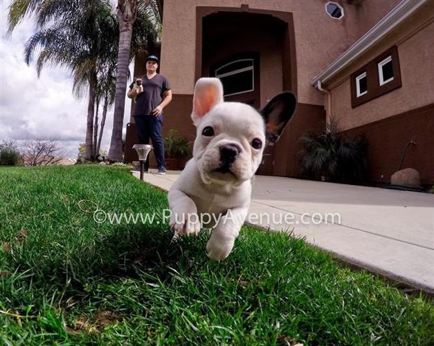 Hungarian Imported Lines // Female French Bulldog w/ the Cutest Markings