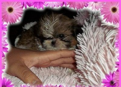 Imperial Shihtzu Female Puppy