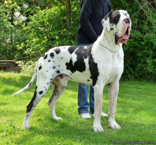 Jumbo European Harlequin Great Dane Puppies Available For Sale In Danbury Connecticut Your City Ads