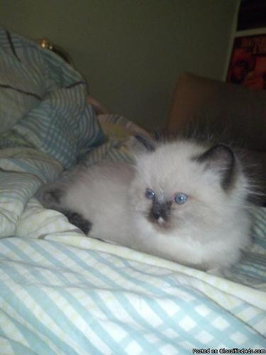 Kittens- Persian