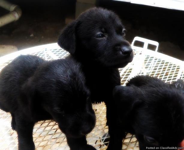 Labrador retriever puppies dallas fort worth