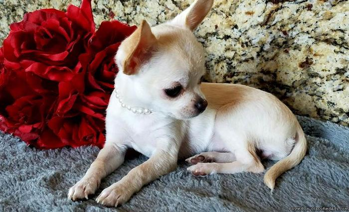 Lolita Tiny Apple Head Female Chihuahua
