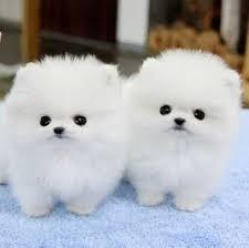 Lovely Pomeranian puppies ready to go now.