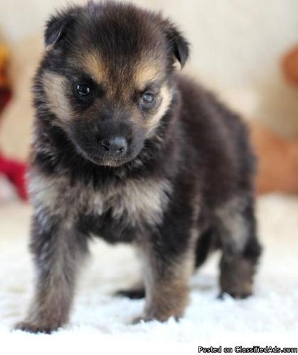 Male and Female German Shepherd Pups Available now