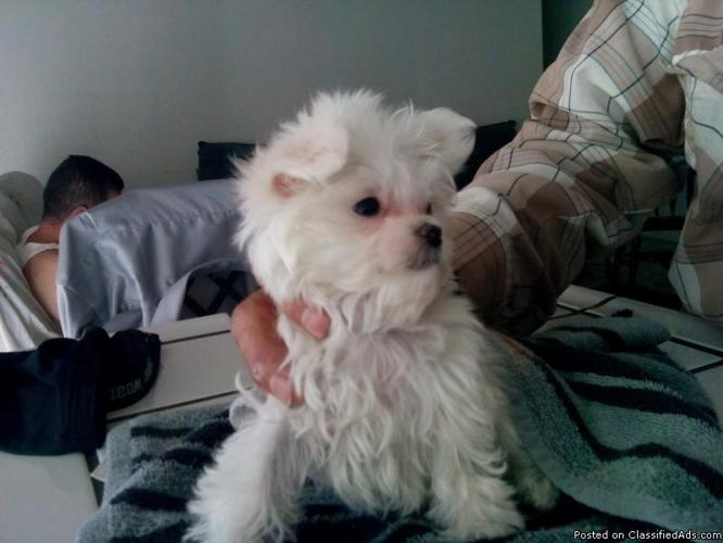 maltese male puppy ckc papers and he is pure white