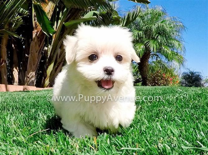 Maltese x Shih Tzu // Beautiful Female Teddy Bear Puppy for Sale