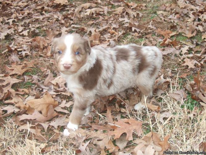 Miniature australian shepherd puppies price 300 for sale in