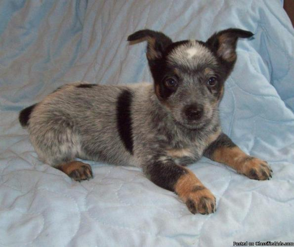 Miniature Queensland Heeler Pups