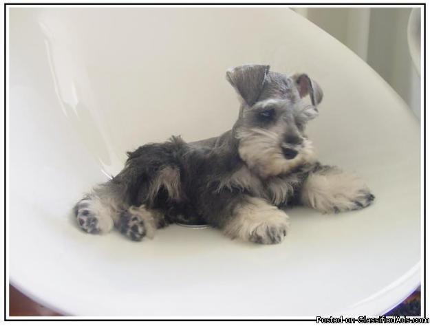 Miniature Schnauzer puppies