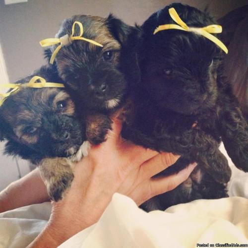 Morkie puppies for sale cute toy pups