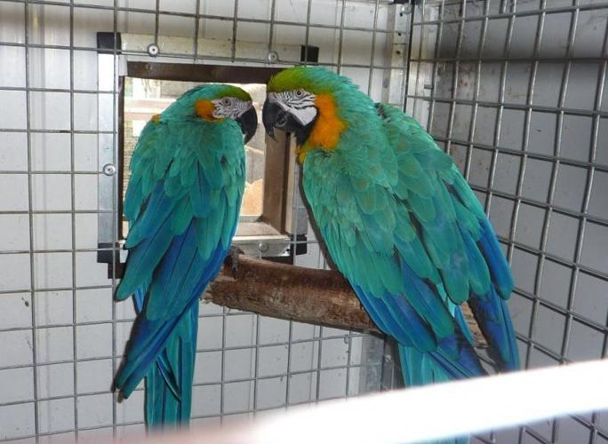 Pair Of Blue & Gold Macaws For Sale