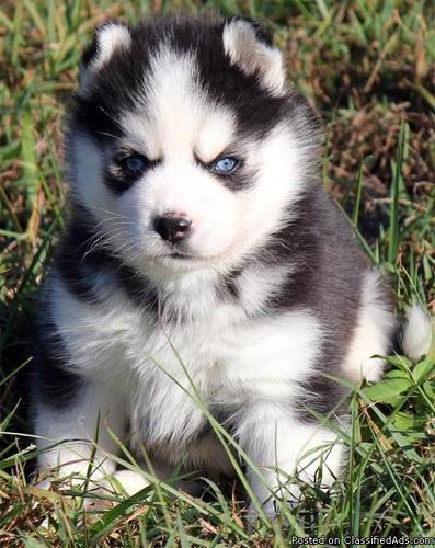 Papered Siberian Husky puppies