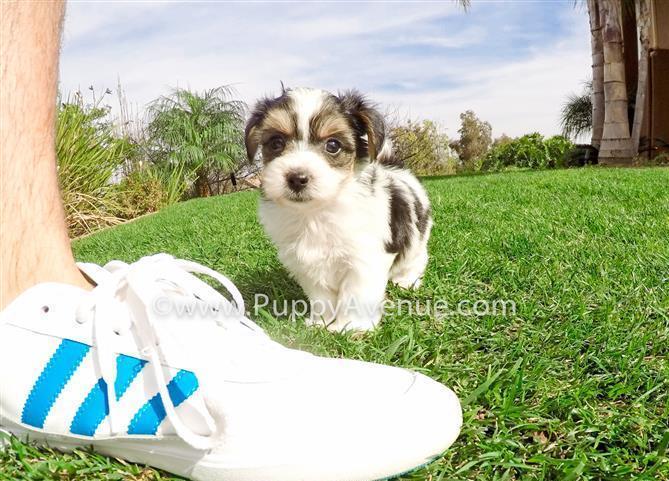 Parti Yorkie x Maltese // Perfect Parti Morkie Hybrid Puppy 4 Sale