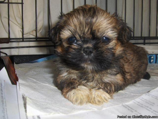 Pekingese Puppies For Sale In Birmingham Alabama Price 300 For