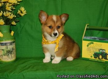 Pembroke Welsh Corgi Puppies Price 750 For Sale In Fort Lauderdale Florida Your City Ads