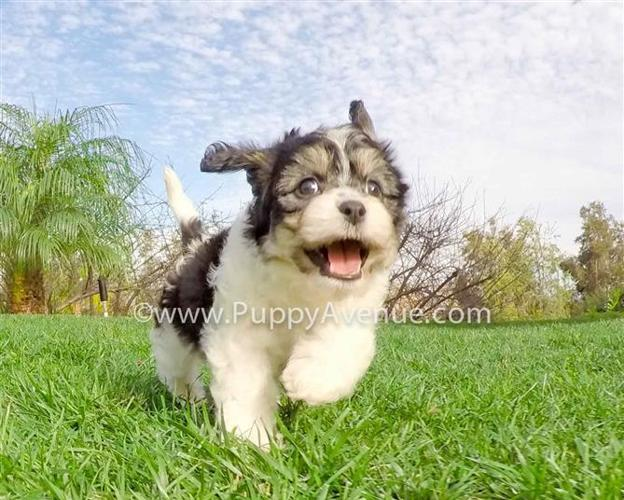 Perfect CavaChon Designer Puppy for Sale