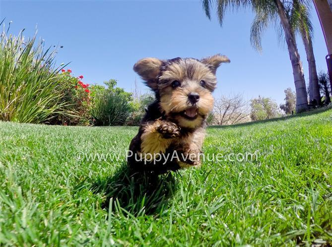 Perfect Female Yorkshire Terrier Puppy Available