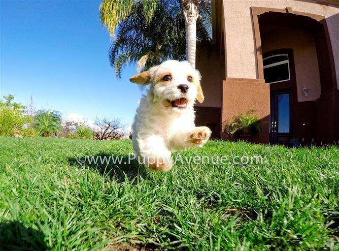 Perfect Male CavaChon Designer Puppy for Sale