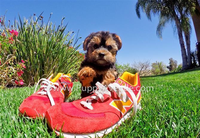 Perfect Maltese x Yorkie Mix // Morkie Hybrid Puppy 4 Sale