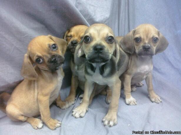 Pocket Puggle Puppies for sale Florida for sale in Davie, Florida ...