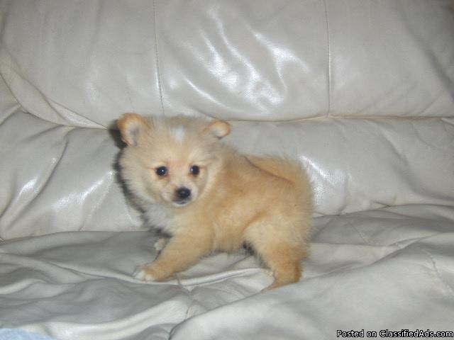 pomeranian puppies for sale in alabama pomeranian puppies for sale in alabama price 250 for 5673