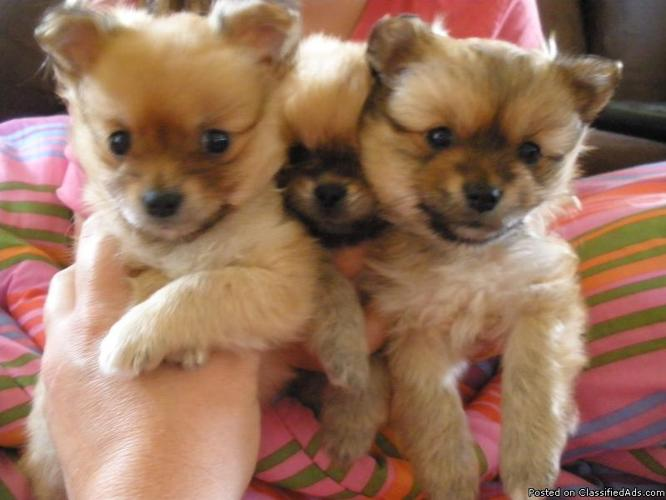 Pomeranian/Pekingese Puppies (Male) 6 Weeks Old - Price