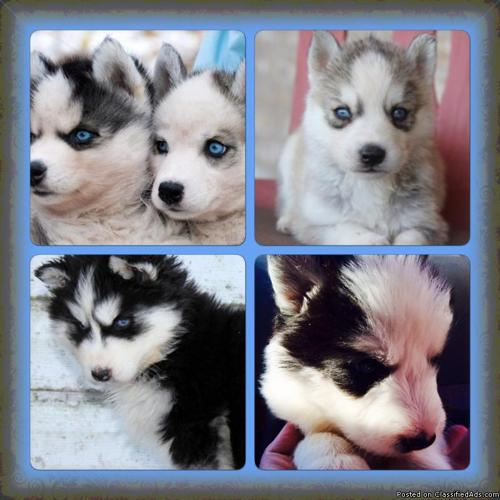 Pomsky Puppies For Sale In Los Angeles California Your City Ads