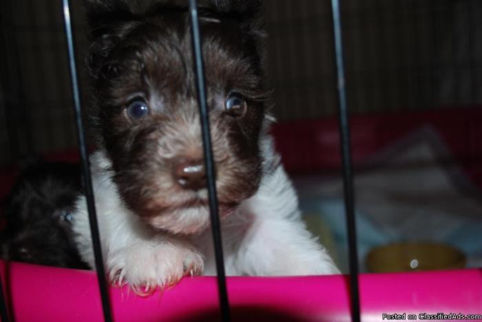 Precious Mini Schnauzer male puppies