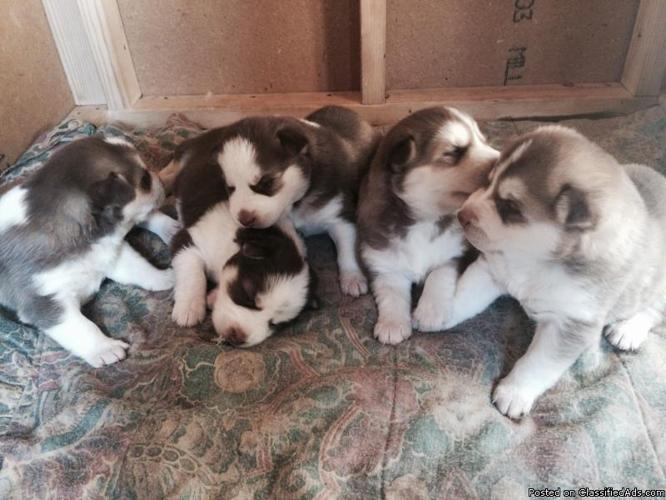 Puppy's husky