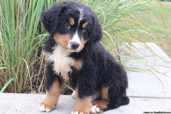 Quin AKC Bernese Mountain Dog